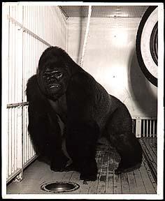 Gargantua Gorilla