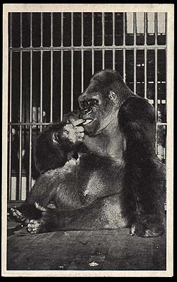 Mr. Chicago: A Life Well Lived – Chicago and Cook County ...  |Bushman Gorilla Death