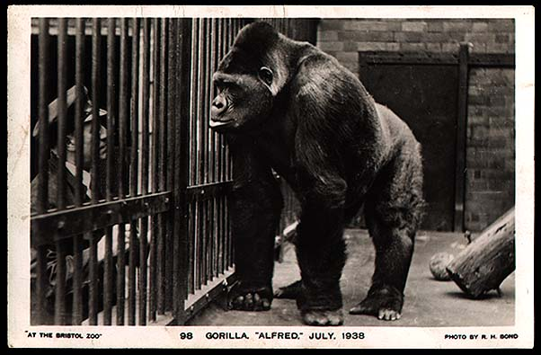 GargantuaPhotos.com - Vintage Photographs and Snapshots  |Bushman Gorilla Death