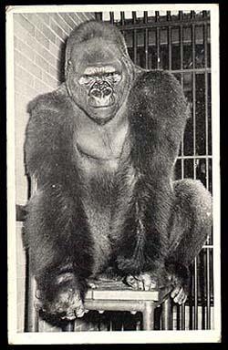 Burton's Blog 6/16: Harambe, the Lowland Gorilla - Burton ...  |Bushman Gorilla Death
