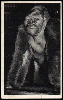 Field museum, Chicago. Bushman. | The stuffed remains of ...  |Bushman Gorilla Death